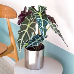Plante - Alocasia Polly