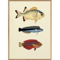 Affiche 3 poissons (1) 30*40 cm - The Dybdahl Co.